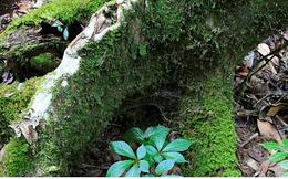 Hỗ trợ người dân trồng sâm Ngọc Linh để xóa nghèo bền vững