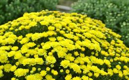 Làng hoa Sa Đéc: Thời tiết bất thường, trên 70% hoa cúc trổ sớm