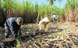 """Hiệp hội Mía đường kêu cứu vì hàng trăm nghìn tấn """"chết"""" trong kho"""