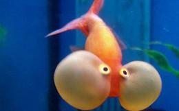 """Những sự thật khó ai tin nổi về loài cá vàng: được """"cưng"""" hết mực ở Nhà Trắng, biết làm trò như cún và..."""