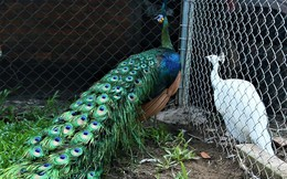 Cần Thơ: Tận mắt chiêm ngưỡng trang trại chim quý, có cặp giá cao vút 100 triệu đồng vẫn khiến khách xếp hàng chờ mua