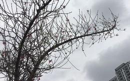 Hoa đào bung nở trong giá rét, khoe sắc trên phố Hà Nội