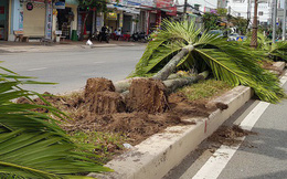Người dân tiếc nuối khi hàng trăm cây cau kiểng trồng 15 năm đang xanh tốt bị bứng bỏ