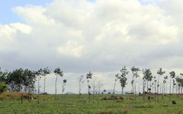 """Xé rào chuyển đổi đất rừng: Doanh nghiệp ở Gia Lai """"tiền trảm hậu tấu"""""""