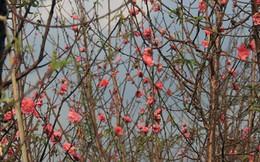 Đào nở bung đỏ rực trước Tết dương lịch, người trồng thấp thỏm sợ thất thu