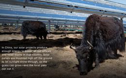 Apple: Bò vẫn có thể ăn cỏ dưới hệ thống năng lượng mặt trời của chúng tôi!