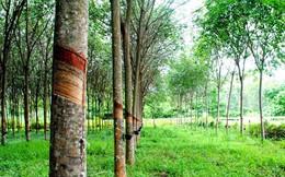 Ghi nhận hơn trăm tỷ từ thanh lý vườn cây, Cao su Tây Ninh báo lãi 120 tỷ đồng năm 2018