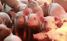Sử dụng chất cấm trong chăn nuôi, Bộ Nông nghiệp đề xuất phạt nặng tối đa 200 triệu đồng