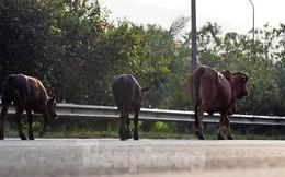 Đàn bò trên đại lộ Thăng Long uy hiếp an toàn giao thông