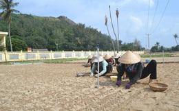 Nguy cơ thiếu nước vụ tỏi đông xuân ở huyện đảo Lý Sơn