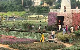 Cúc họa mi vào mùa, nhà vườn kiếm hàng chục triệu mỗi ngày