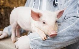 Toàn bộ nguồn cung thịt lợn của cả thế giới cũng không thể bù đắp cho nhu cầu sử dụng quá lớn ở Trung Quốc!
