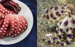 """Cảnh báo loại động vật """"bản sao"""" dễ nhầm với bạch tuộc nhưng có nọc độc gấp 50 lần rắn hổ mang, hàm lượng nhỏ vẫn giết chết 10 người trên 70kg"""