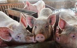 Thế giới xử lý tả lợn châu Phi ra sao?