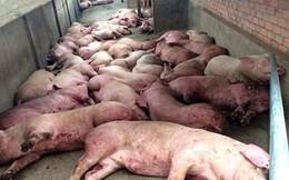 Dịch tả lợn Châu Phi lây lan qua 17 tỉnh, tiêu hủy hơn 23.000 con lợn