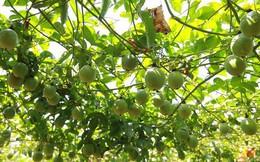 Từ vô danh, một loại quả Việt Nam tham vọng bán với giá đắt nhất thế giới, thành tên gọi phổ biến như kiwi New Zealand