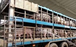 Ngăn chặn dịch, TPHCM ngưng nhận lợn từ các tỉnh phía Bắc