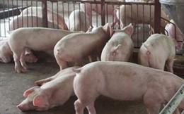 Dịch tả lợn Châu Phi được kiểm soát, giá thịt lợn được dự báo tăng mạnh