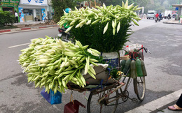 Ảnh: Mùa hoa loa kèn gọi tháng Tư về khắp các con phố Hà Nội