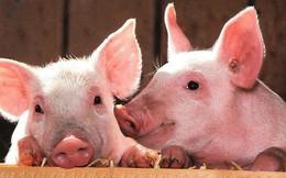 Xử lý nghiêm hành vi che giấu, trục lợi từ dịch tả lợn Châu Phi