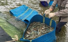 Lợi nhuận giảm mạnh do thiếu hụt nguồn cung, Minh Phú (MPC) sẽ rót 280 tỷ đồng tăng khả năng nuôi tôm