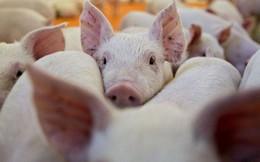 Giá lợn hơi được dự báo sẽ tiếp tục gia tăng trong thời gian tới