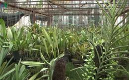 Trồng hoa lan trên 100m2 đất nông nghiệp cho thu nhập trăm triệu/năm