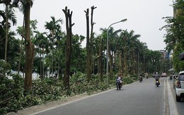 Hé lộ lý do chuyển 108 cây hoa sữa từ Hồ Tây về bãi rác Nam Sơn