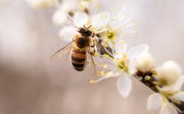 Muốn có nhiều mật thì phải biết phần lại cho ong, càng tận thu càng không được gì: Đạo lý thâm sâu từ kẻ nuôi ong mà rất ít người lĩnh hội được