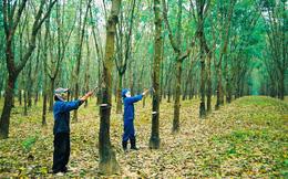 Cao su Quảng Nam (VHG) dời ngày Tổ chức ĐHĐCĐ lần 2 do không đủ tỷ lệ cổ đông tham dự