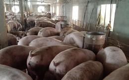 Sẽ có hướng dẫn mới trong phòng chống Dịch tả lợn châu Phi