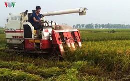 Giá lúa tăng, nhưng nông dân Trà Vinh vẫn lãi ít, vì năng suất kém
