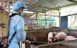 Ngăn chặn bán tháo lợn dịch tả ra thị trường