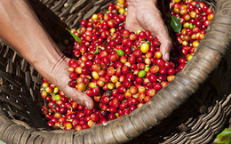 Giá cà phê trong nước hồi phục theo đà tăng thế giới