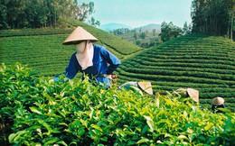 Pakistan là thị trường xuất khẩu chè lớn nhất của Việt Nam trong 8 tháng đầu năm 2019