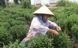 Mưa bão, làng hoa Tết ở Tiền Giang và Bến Tre điêu đứng