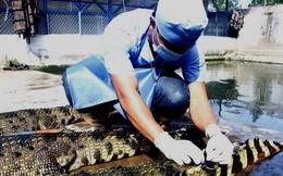 Gần 7.000 con cá sấu sống tại TPHCM 'bay' ra nước ngoài