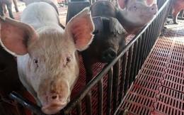 Dịch cúm lợn lan tràn tại hơn 20 tỉnh thành của Trung Quốc