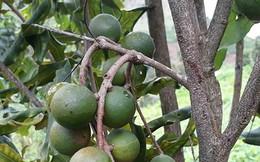 Lai Châu sẽ trở thành thủ phủ cây mắc ca ở Việt Nam