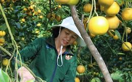 Những rừng cam thu tiền tỷ mỗi dịp Tết ở Hà Tĩnh