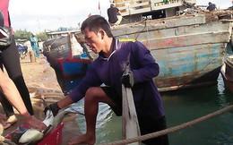 Tết vui của người nuôi cá bớp Lý Sơn