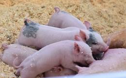 Tại sao người ta lại nói sướng như heo? Trạng Lợn trong văn học dân gian là người như thế nào?