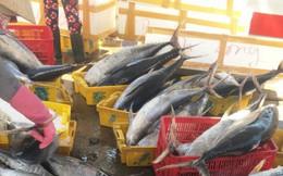 """Đánh cá """"xuyên Tết"""", ngư dân Quảng Ngãi trúng mẻ cá ngừ 50 tấn"""