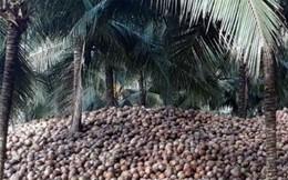 """Giá trái dừa khô ở Bến Tre tiếp tục """"lao dốc"""""""
