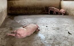 Xuất hiện tỉnh thứ 8 nhiễm dịch tả lợn Châu Phi