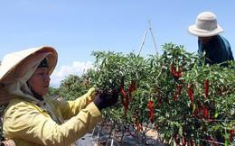 Trồng ớt Hàn Quốc, nông dân miền núi Ninh Thuận lãi đậm