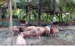 """Nông dân Tiền Giang bán chạy lợn để """"né"""" dịch tả Châu Phi"""