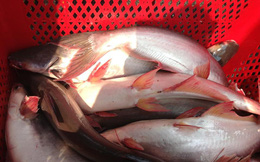 Giá cá tra tiếp tục giảm vì nhu cầu thấp