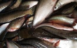 Thu tiền triệu từ cá đồng thiên nhiên nơi Đất Mũi – Cà Mau