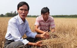 Hàng trăm ha lúa ở Huế khô cháy do thiếu nước tưới tiêu